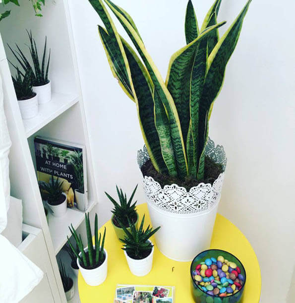 sansevieria snake plant mother in law 39 s tongue guide our house plants. Black Bedroom Furniture Sets. Home Design Ideas