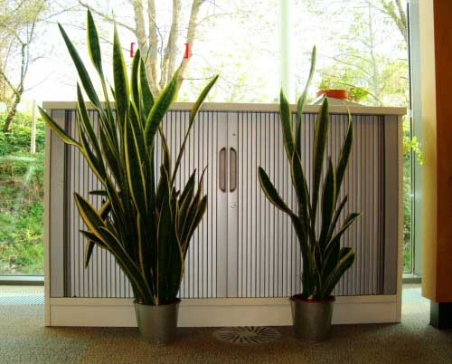 Two Sansevieria /  mother-in-law's tongue plants side by side viewed from the front