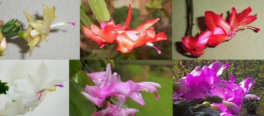 The Christmas Cactus comes in many different colours