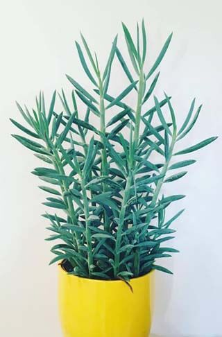 Senecio aquarine Mount Everest is a new modern houseplant with blue and green leaves