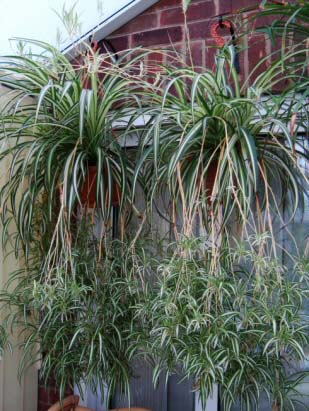 Two hanging baskets containing several mature Spider Plants