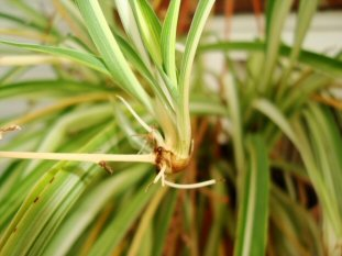 Spiderplants produce plantlets which can be grown on in soil or water
