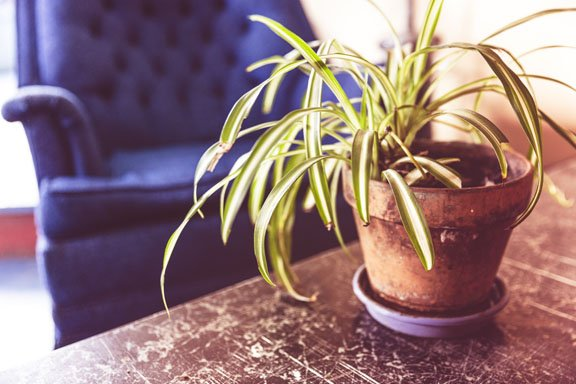Spiderplants are very easy care houseplants
