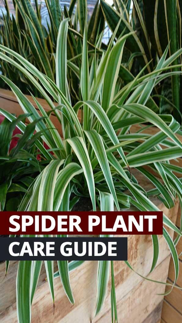 Photo showing a Spider Plant in a mall with lots of other houseplants around it