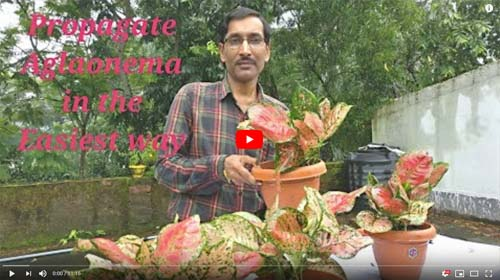 Aglaonema Plant Propagation How to Youtube Video