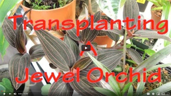 Youtube Video showing how to repot the Jewel Orchid