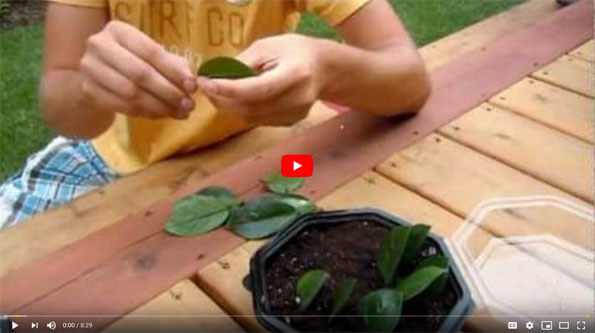 ZZ Plant Propagation How to Video on Youtube