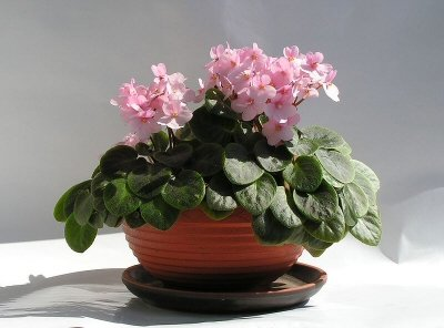 African Violet plant with pink flowers