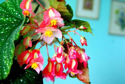 Begonia corallina in flower