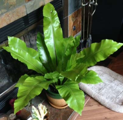 The Bird Nest Fern suits many homes and makes a versatile house plant
