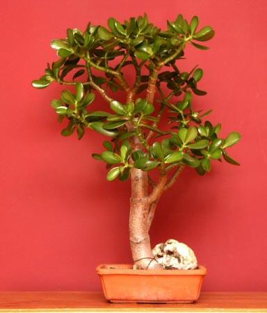 Bonsai Tree Guide | Our House Plants
