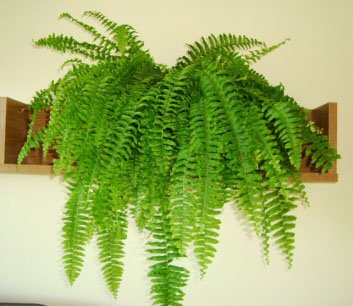 Because the fronds droop downwards as they age, they look very nice some where higher up