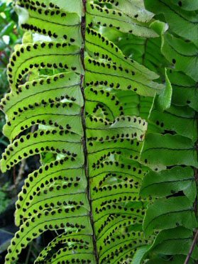 Boston Fern with many spores on its fronds