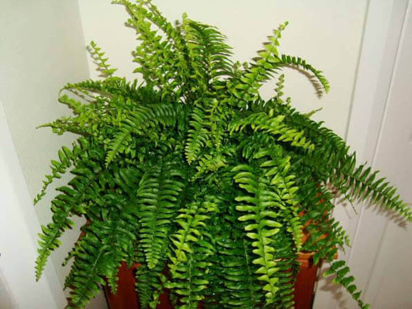 The Boston Fern looks fantastic as a stand alone plant