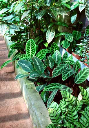 For Calathea to thrive as house plants, high humidity, temperatures and lots of water is needed