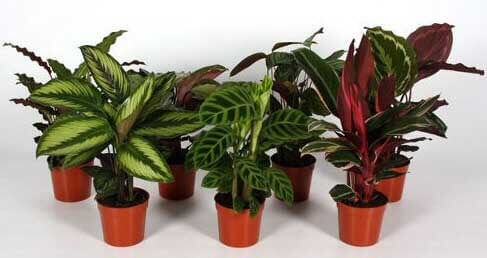 Calatheas can make great house plants and there are many to choose from