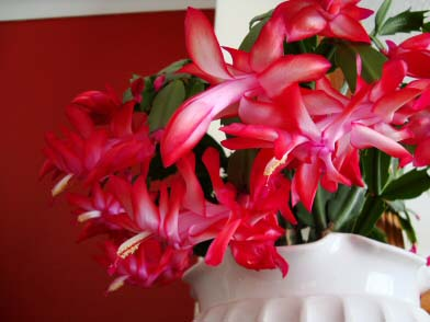 Red Flowering House Plants christmas cactus (schlumbergera buckleyi) | our house plants