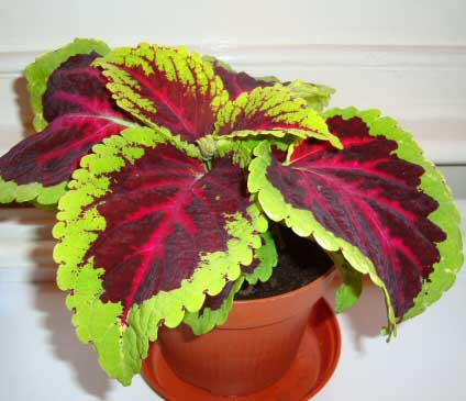 Coleus can be grown successfully as a house plant