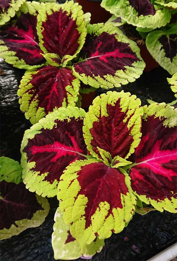 Can Coleus be grown as a houseplant? Well the ones in this photo sure are doing well