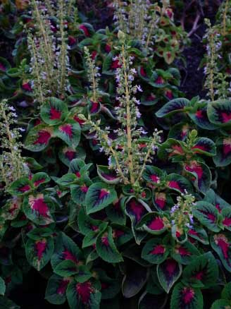 The Coleus flowers look like those found on the stinging nettle