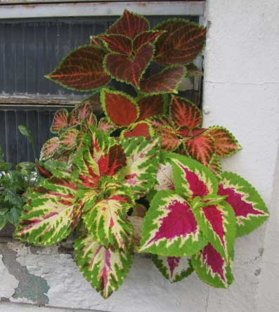 Three very different looking Coleus blumei hybrids growing near a window