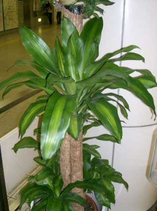 The name corn plant or by its official latin name of dracaena fragrans