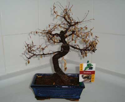 This Bonsai tree has not been watered enough, meaning it's pretty much dead