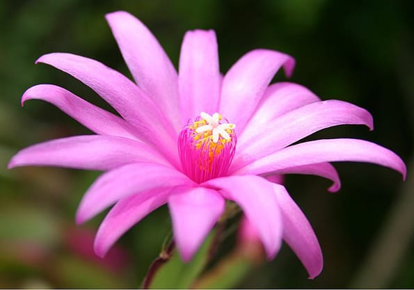 Close up of a Easter Cactus pink flower