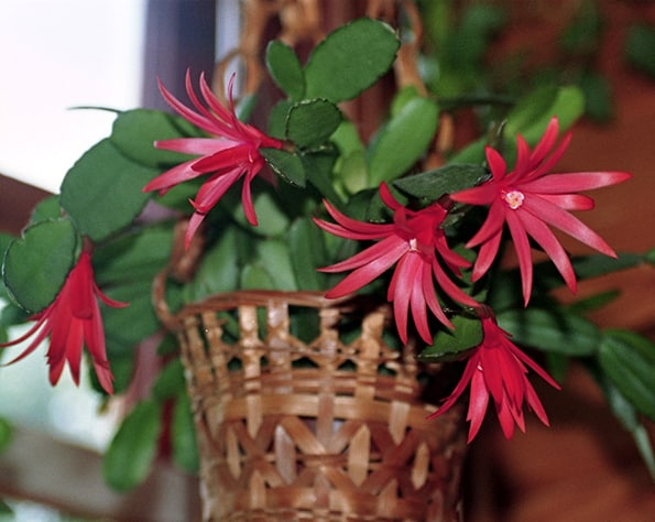 Photo of a  Easter Cactus in a basket