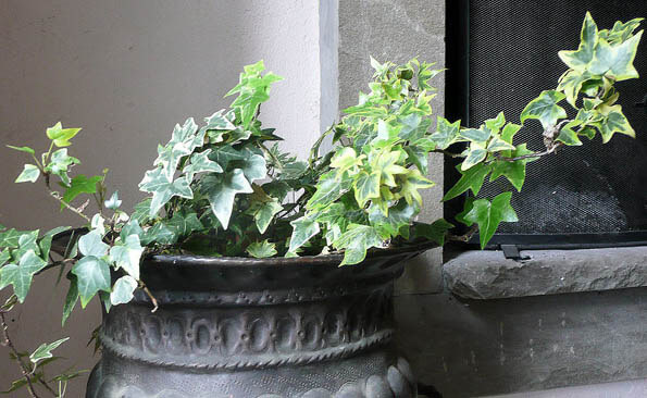 English Ivy being grown as a houseplant in a metal container