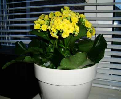 Flaming Katy (Kalanchoe blossfeldiana) Guide | Our House Plants on can see, can the lost tapes, can go, can get,