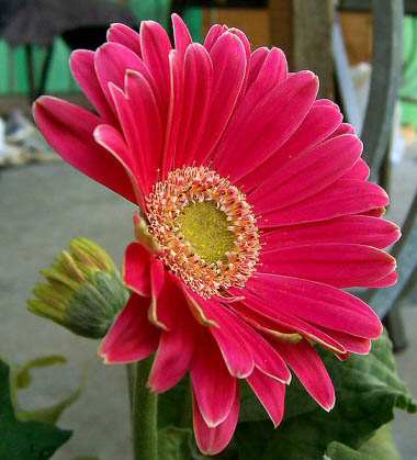 Gerbera with vivid pink flowers