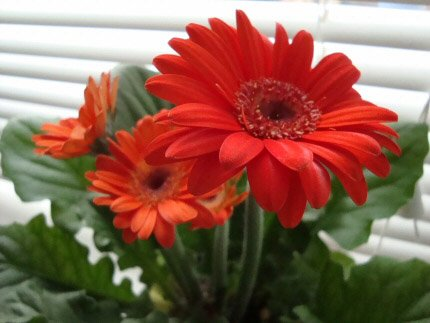 This Gerbera with red flowers is being treated as a house plant