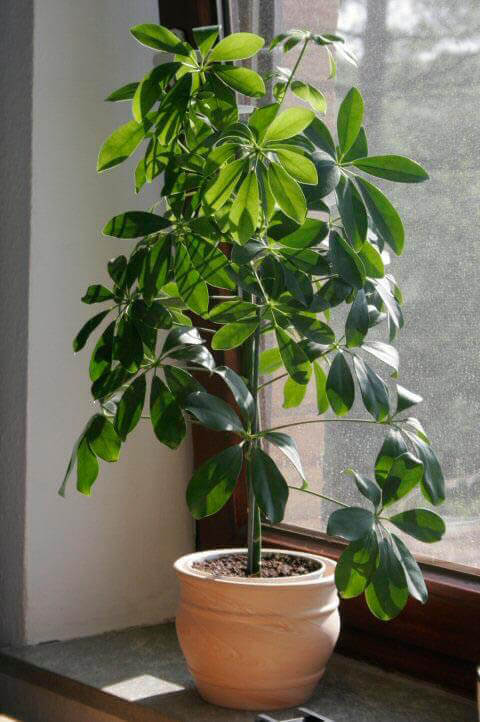Umbrella Plant (Schefflera / Heptapleurum) Guide | Our House