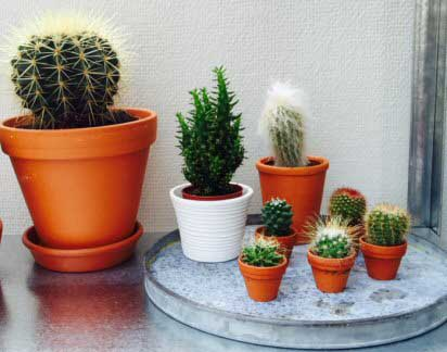 A group of small cacti suitable as houseplants