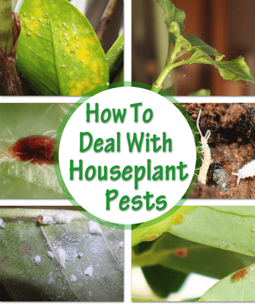 How to Identify and Control House Plant Pests | Our House Plants House Plant Insect Identification on hosta plant identification, plant bugs identification, house plant soil insects, house plant bugs insects, house plant insecticides, house plant worm identification, house plant identification key, michigan plant identification, house plant identification by leaf, plant pests and diseases identification, house plant leaves identification, house plant moths, plant parasites identification, identify house plant identification, vegetable plant pest identification, indoor plant identification, house plant fungus identification, house plant pests, green plant identification,