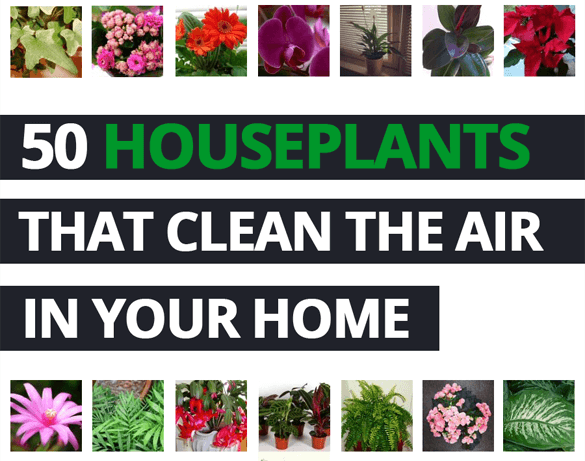 50 Plants That Clean the Air | Our House Plants on indoor spices, indoor trees, indoor organic gardening, indoor palms, indoor orchids, indoor plants, indoor ferns, indoor shrubs, indoor seedlings, indoor roses,