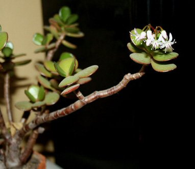 Photo of a Jade Plant in flower