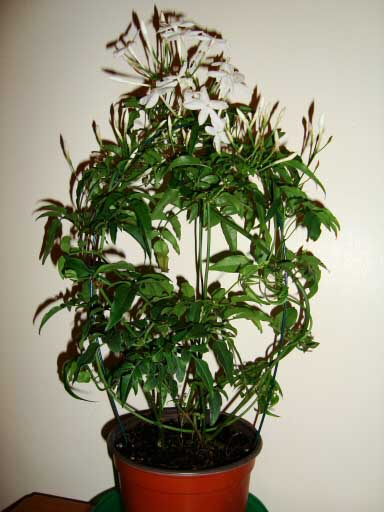 Jasminum polyanthum jasmine our house plants - Good flowering house plants ...