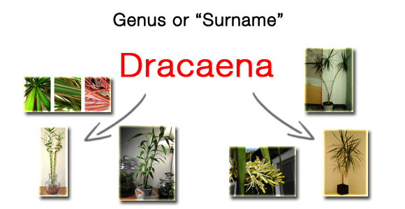 The genus of a plant's latin name is like a persons surname