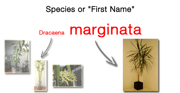 There are many species within the Dracaena genus, including marginata. The Species is like a persons First or Christian name