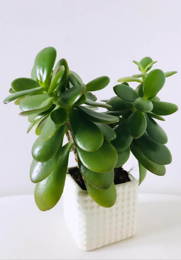 Money Plant / Jade Plant (Crassula ovata) Guide | Our House