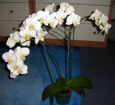 White Moth or Phalaenopsis Orchid with masses of flower blooms