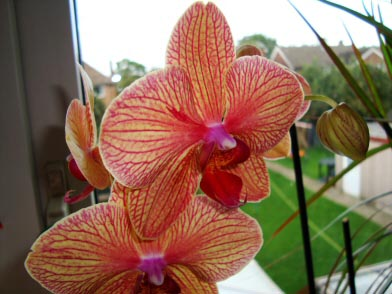Moth Orchid / Phalaenopsis in a window