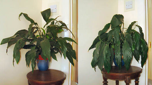 Two Pictures Of The Same Peace Lily Picture On Left Shows It Needs Water