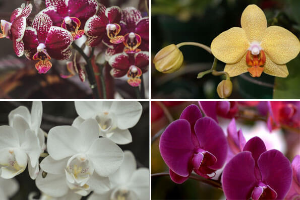 Collection of four Moth Orchid Plants showing some of the variety on offer