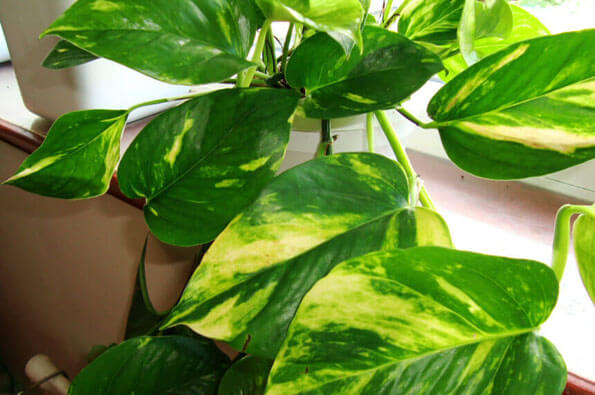 Epipremnum aureus or Pothos has so many different names it can be hard to identify by the name alone