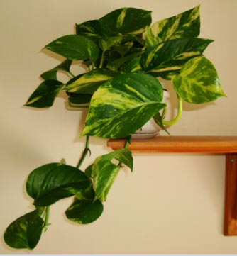 To get a more compact and bushier Pothos, pinch out the growing tips