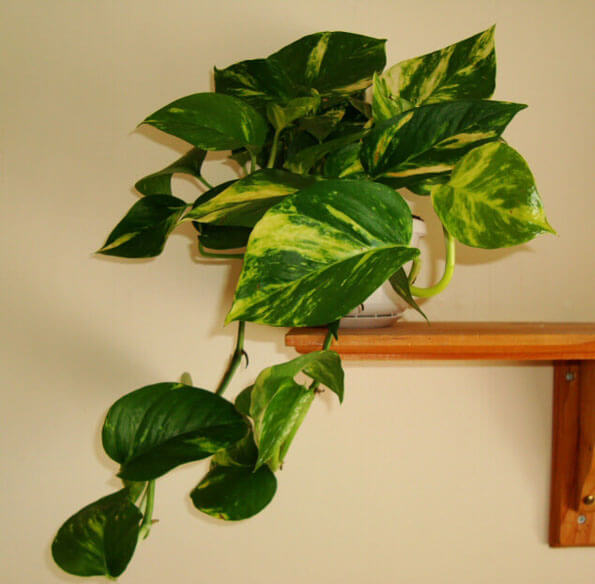 All Pothos cultivars will cope with poor lighting