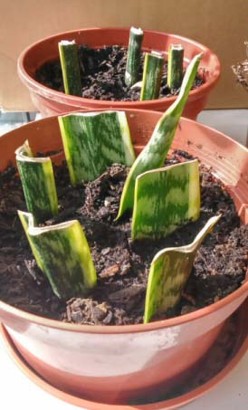 how to grow yucca cuttings